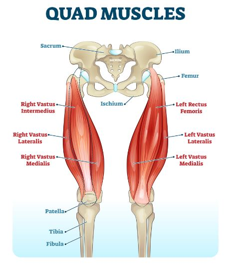 Quad muscle anatomy