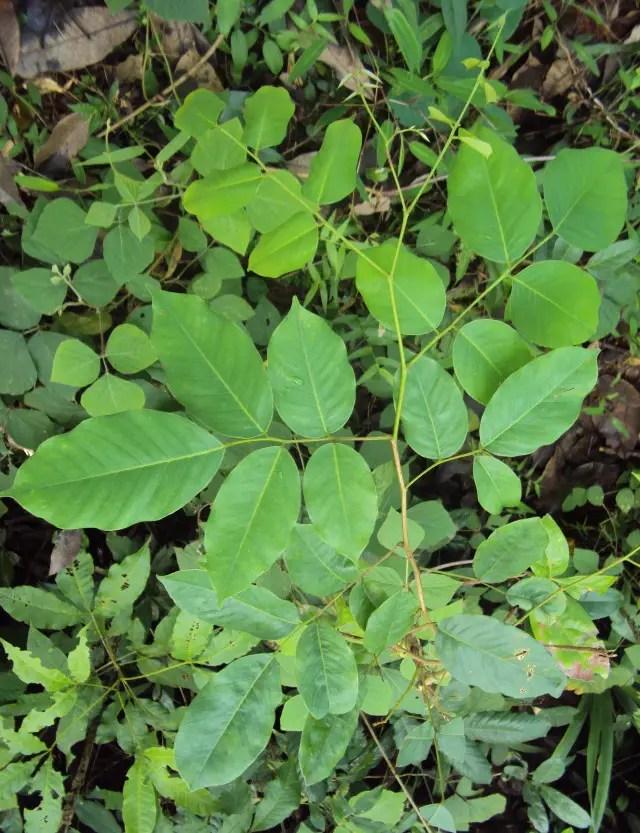 10 Benefits & Uses Of Vijaysar Tree (Pterocarpus Marsupium ...