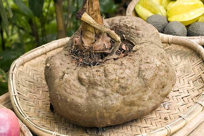 Konjac root