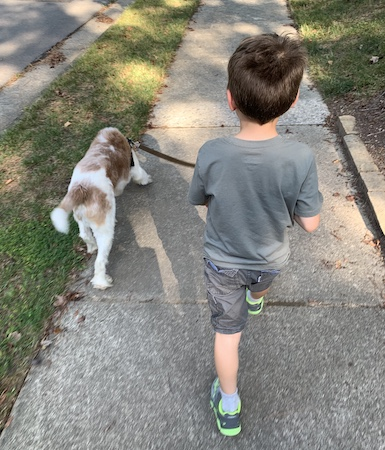 View from walking behind my eldest (6 year old) walking Wallace who is in his Stunt Puppy harness.