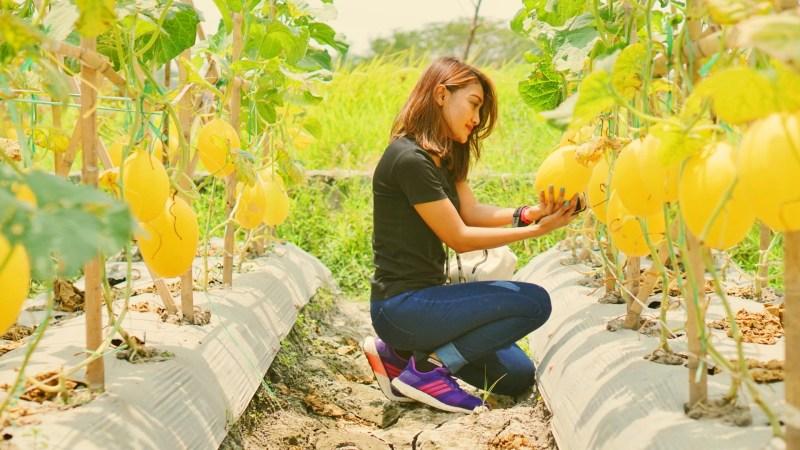 Mengintip Pesta Panen Buah Golden Melon Sunpride di Cilegon