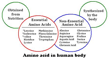 functions-of-amino-acids