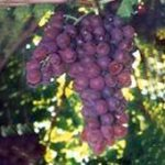 Allergies???  Use The Natural Cure – Grape Seed Extract