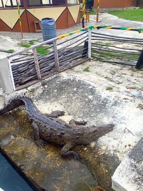 crocodile tour Black River Jamaica