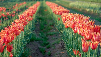 woodburn Tulip Festival Oregon