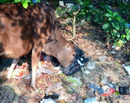 垃圾站附近胡亂棄置嘅垃圾卻被牠們誤以為係可食用一併吞落胃部