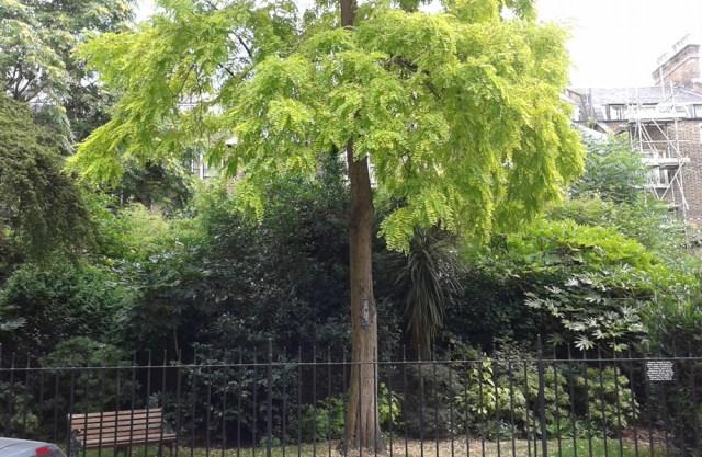 Acacia tree in full leaf.