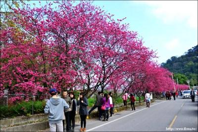 泰安車站櫻花