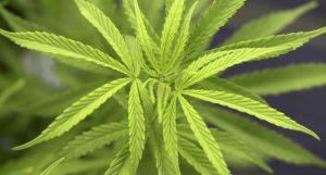 Hug Research Labs: nasce la start-up ligure che trasforma la cannabis in bellezza