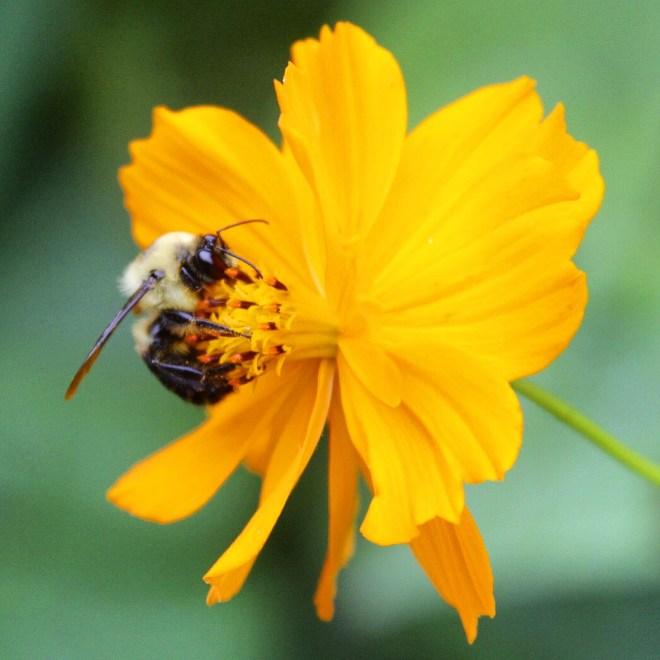 IMG_0544 1_PollinatorsAndVisitors_2015_07_04_sm