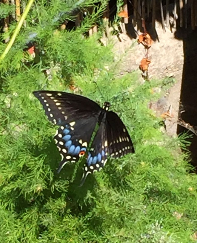 IMG_2891_PollinatorsAndVisitors_2015_08_29_sm