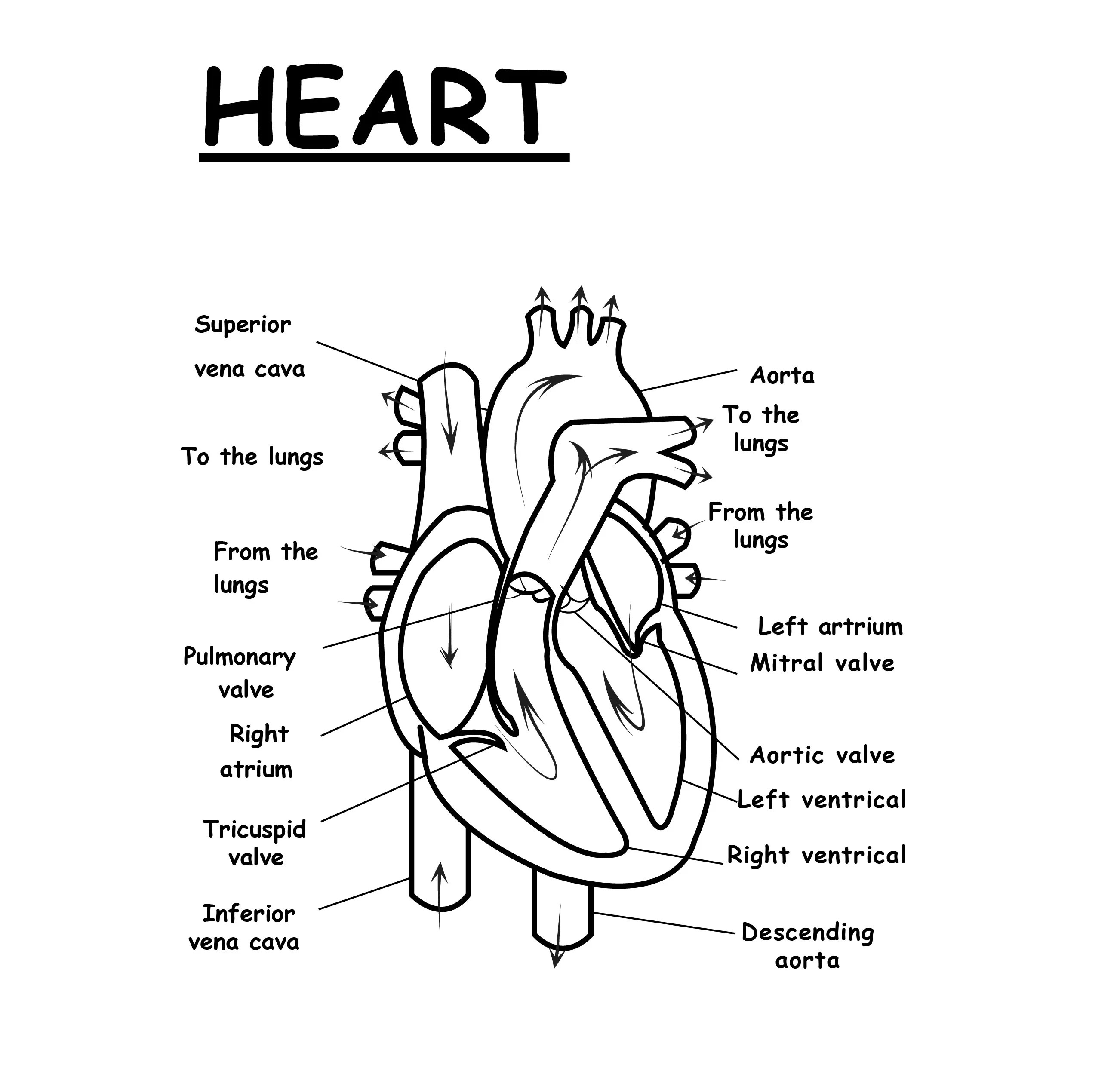 33 Human Heart To Label