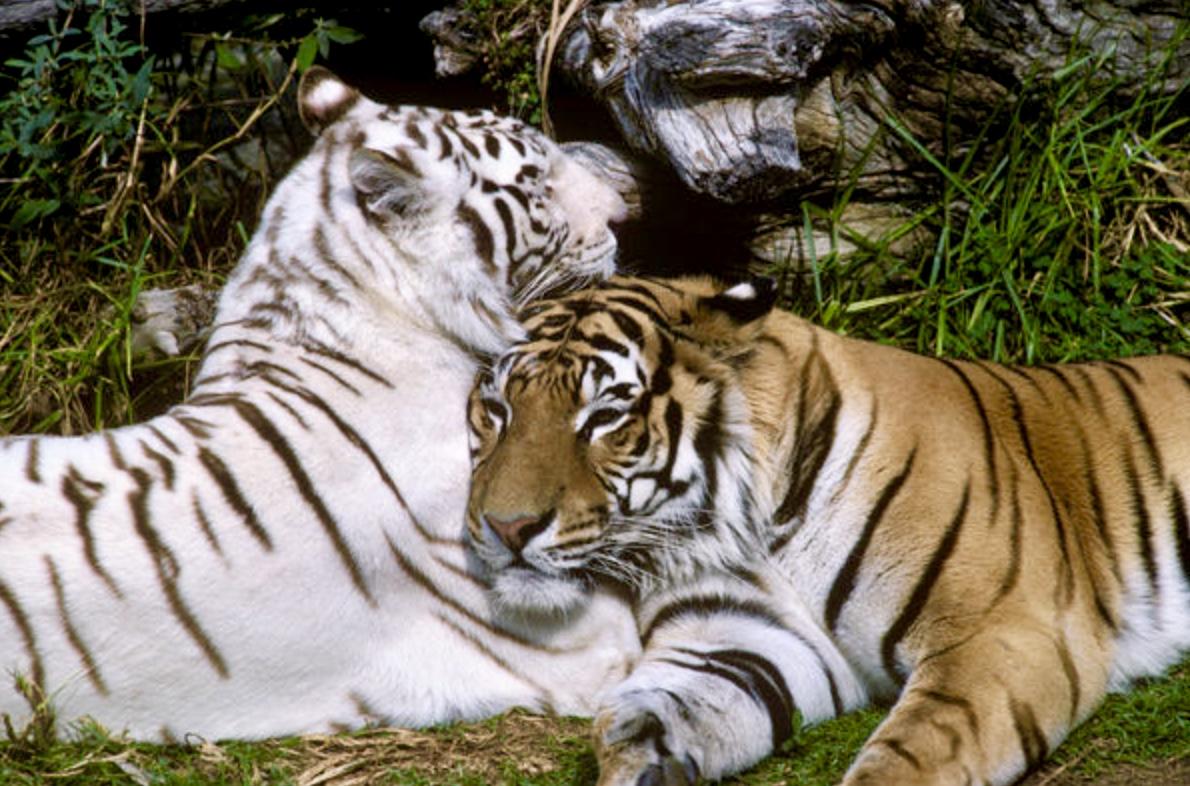 What S The Meaning Of A White Tiger