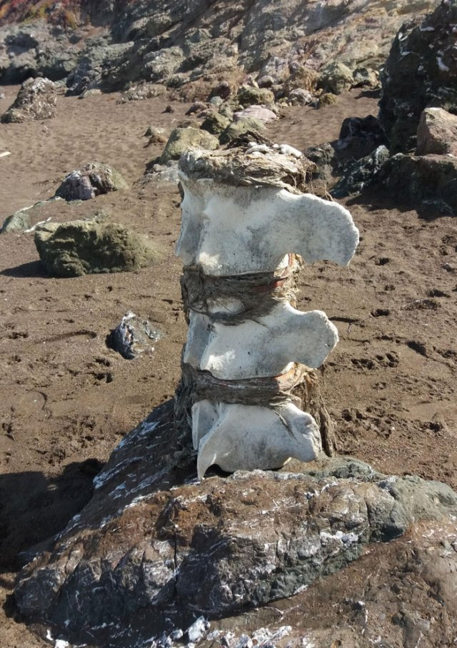 This Piece Of A Whales Spinal Column That Washed Up On The Beach