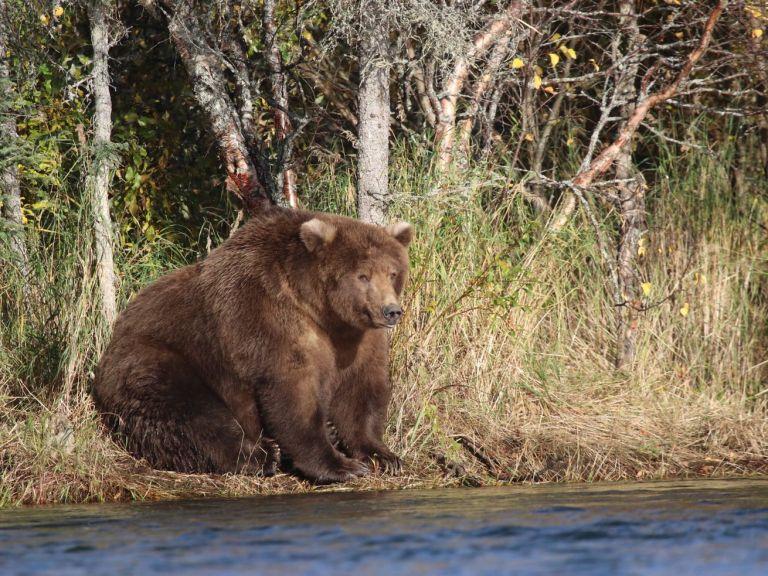 Fat Bear Week 2019: Choose the fattest brown bear in Katmai National Park, Alaska