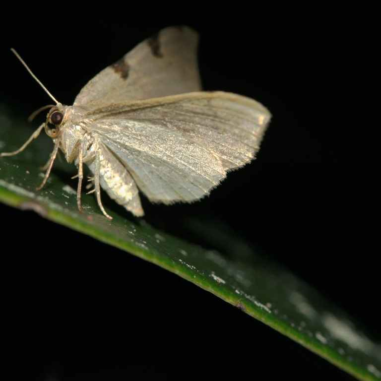 Moths do the pollinator night shift – and they work harder than daytime insects