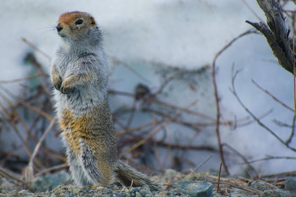 Arctic heatwave: what warmer summers mean for the region's wildlife