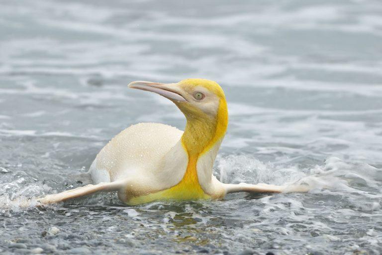 Wildlife Photographer Captures A 'Never Before Seen' 1-In-146k Yellow Penguin