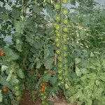 cherry tomatoes, a lot on one truss in a five star polytunnel