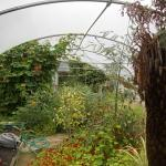 tropical plants include date palm and kiwi vine in five star polytunnel6
