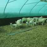 over eighty ewes and lambs in this livestock five star polytunnel