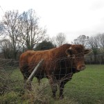 five star polytunnels under cover recipes live stock bull