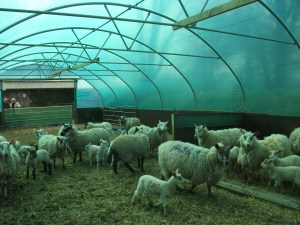 Livestock Shelter lambs and ewes in five star polytunnel