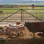 Five Wells at lambing time