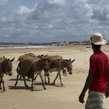 African Donkey population being depleted by China