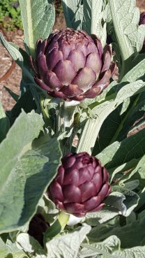 artichoke_in_the_garden