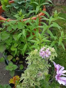 sangria_herbs