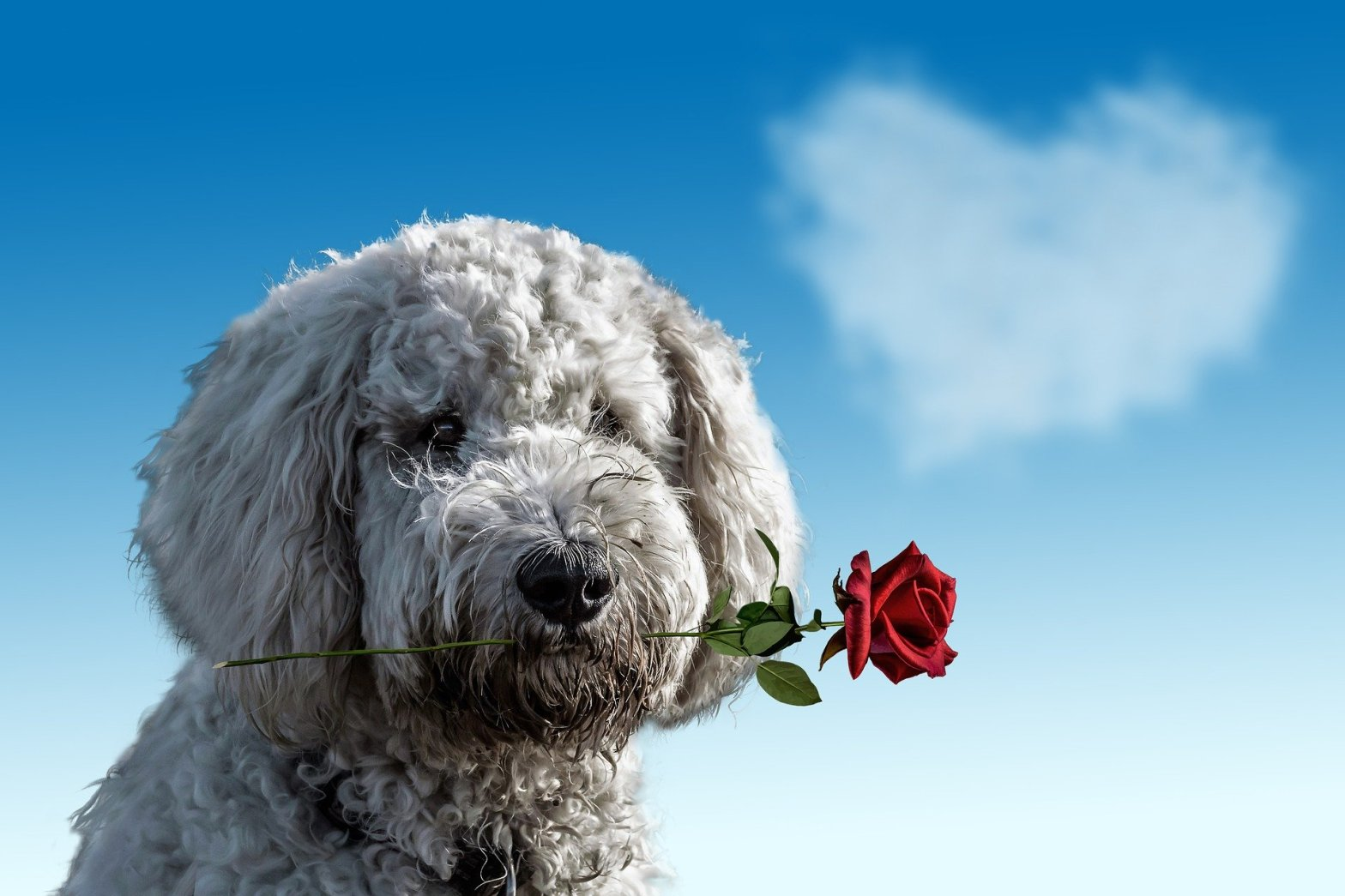 Emotional support dog with a rose in its mouth