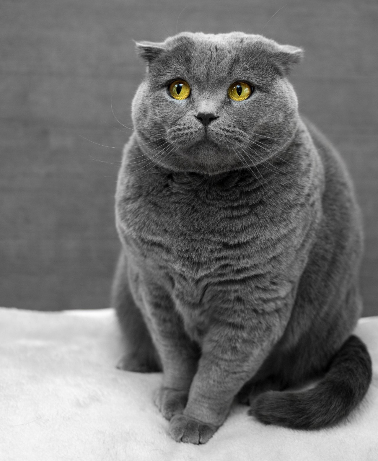 Gray cat with yellow eyes and an apprehensive look on her face. Ms. Communication.