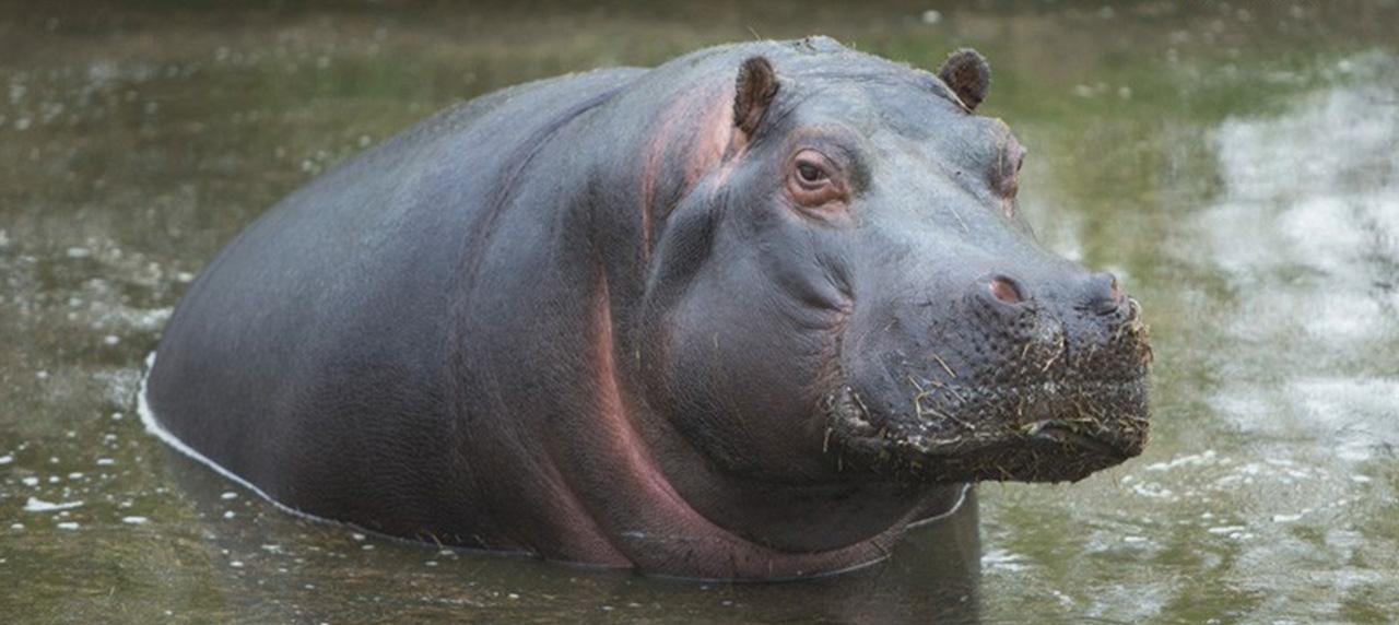 UBWARI-FIZI : quatre personnes blessées et deux pirogues détruites par l'hippopotame