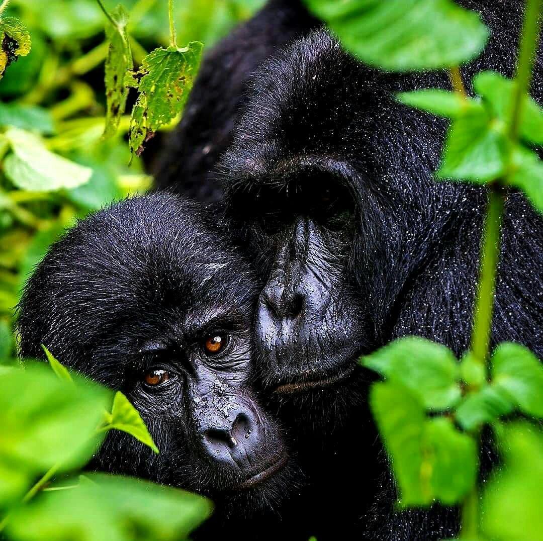 Nord-Kivu conservation de la nature : naissance d'un bébé gorille dans la famille Kakule