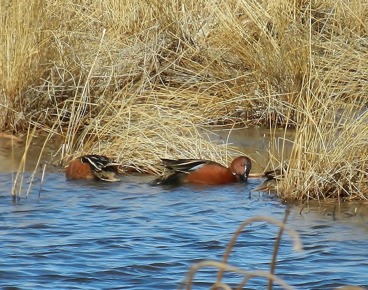 Mallard Duck Habitat Management