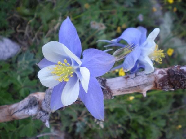 Colorado Blue Columbine | fizzynotions
