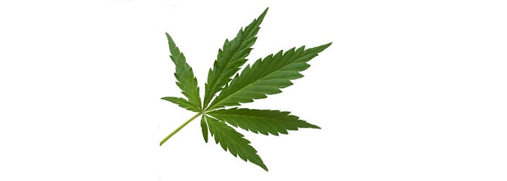 chanvre cannabis