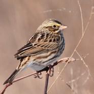 savannah-sparrowa011010_72ppi