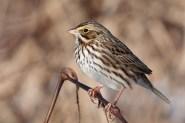 savannah-sparrowb011010_72ppi