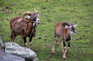 Muflons - the original sheep