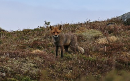 Fox on Byrdafjellet