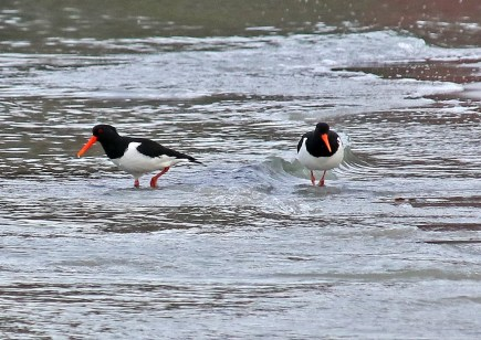 Canarian Black Oystercatchers