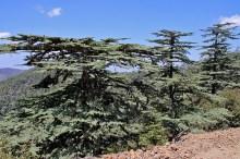 Cedar trees
