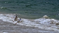 The seagulls don't want to play