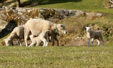 Lambs (II)