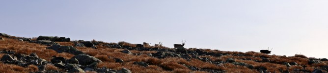 The first group of Reindeer