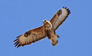 The Eurasian Buzzard (2/3)