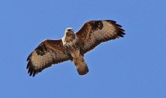 The Eurasian Buzzard (3/3)