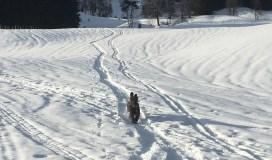 Poor Karma, working hard in soft snow